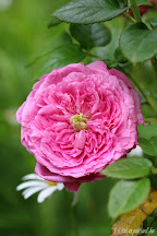 Rose Chantal Merieux