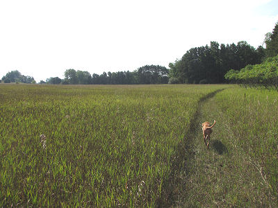 dog walking in a grassy trail