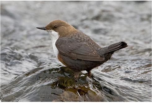 Wasseramsel - Jahresvogel 2017