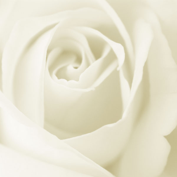 Pictures White Roses