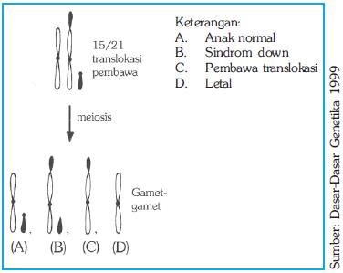 Kromosom pembawa translokasi dan gamet-gamet yang diproduksinya
