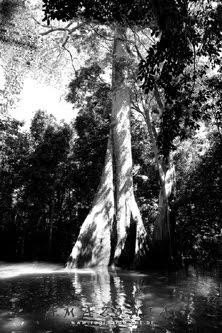 Samaumeira - a rainha da floresta alagada