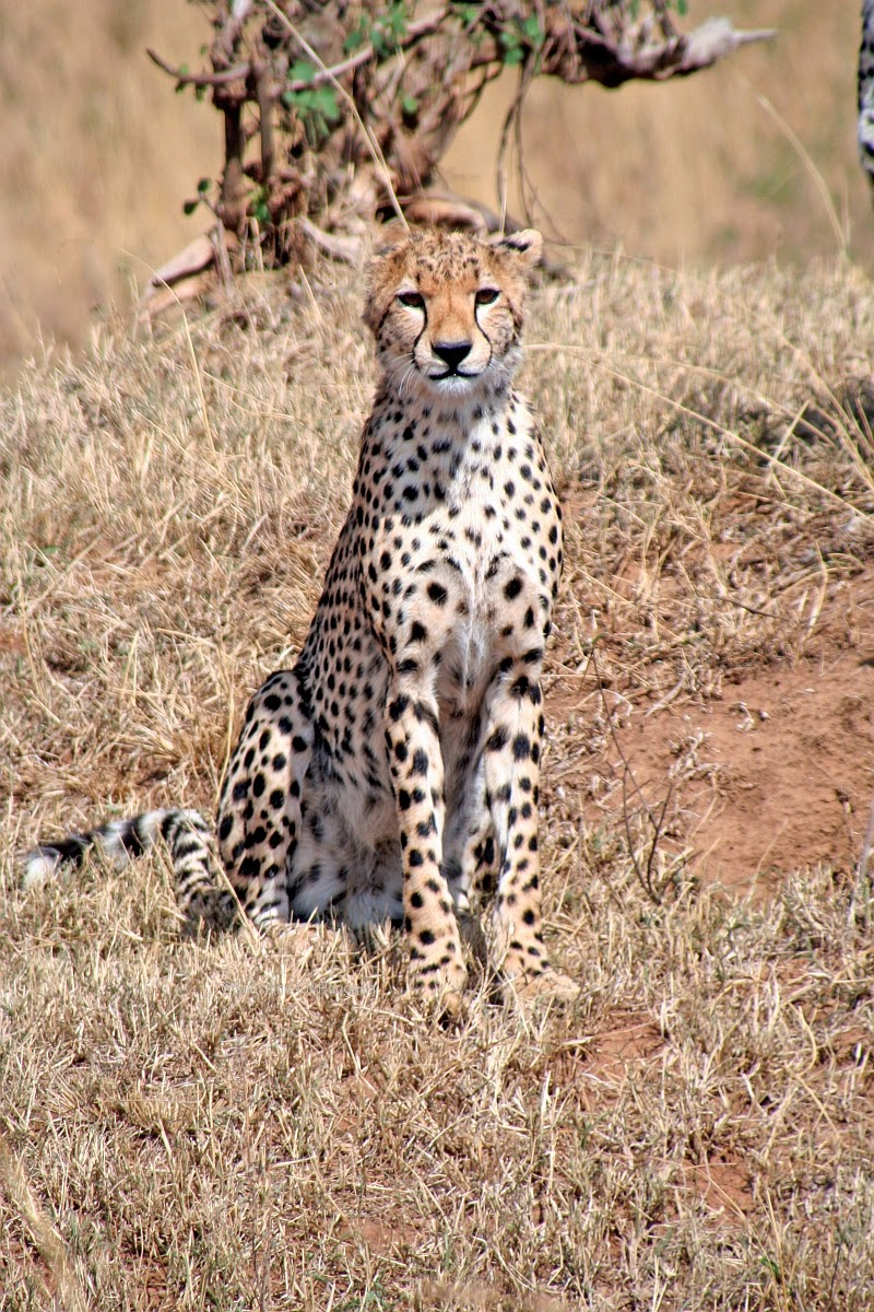 Cheetah in the Massai Mara