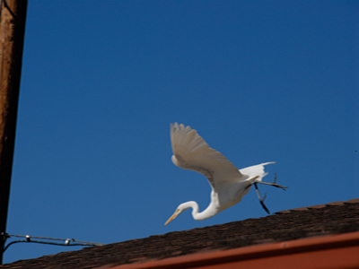 egret leaving roofline