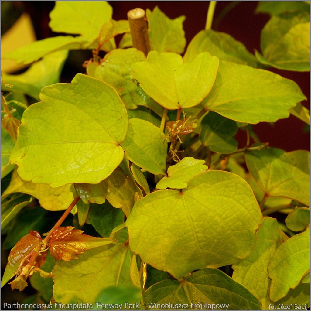 Parthenocissus tricuspidata 'Fenway Park' - Winobluszcz trójklapowy