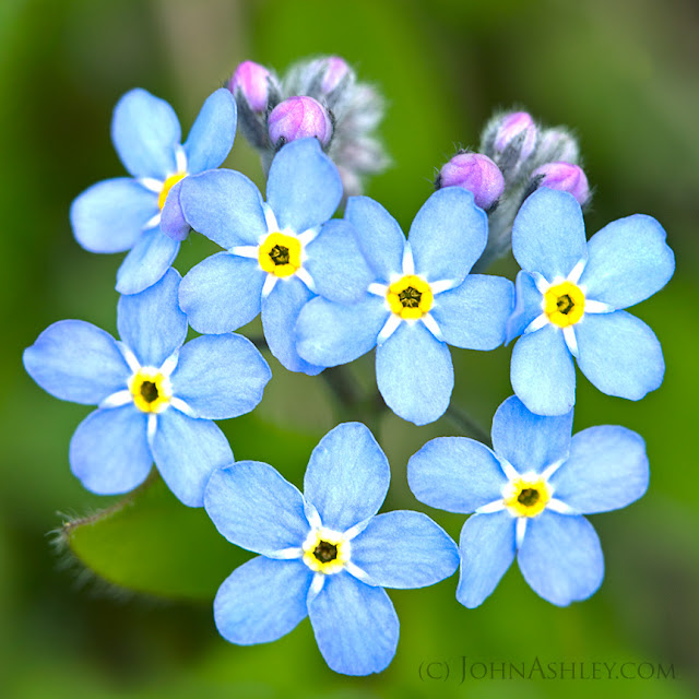 Forget-me-nots (c) John Ashley