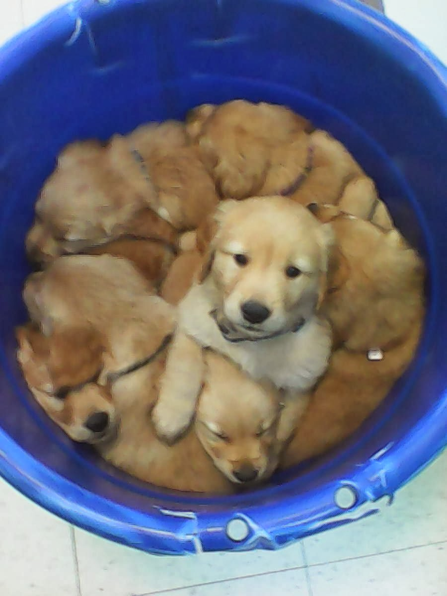 Cute dogs - part 8 (50 pics), a bucket full of puppies