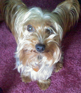 My sister Jennifer's Yorkie, Ringo - May 2010