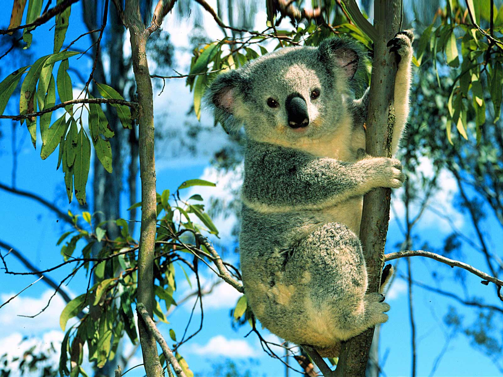 koala wallpapers   pets cute and docile