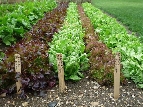 How to grow lettuce from seed the garden of eaden for Growing gardens