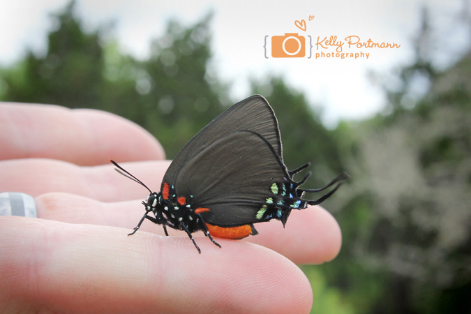 Great Purple Hairstreak, Butterfly, Butterflies, San Antonio Photographer, RAW Artist, Government Canyon State Park