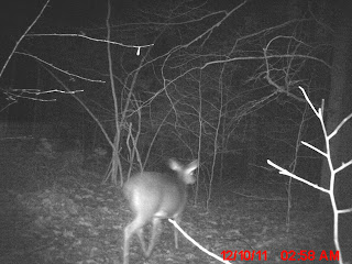 Trailcam catches a white-tailed deer- finally!