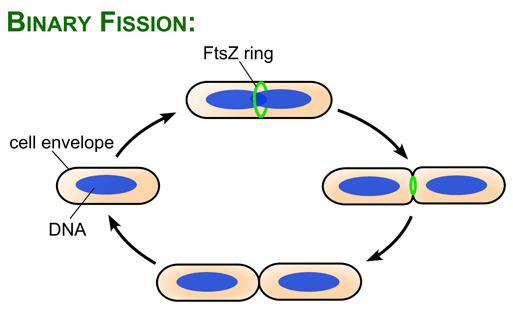 Fision reproduccion asexual gemacion