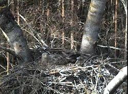 Cámara del nido del pigargo europeo