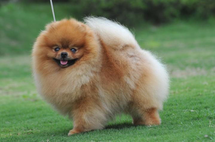 Cartoon Pomeranian Dog