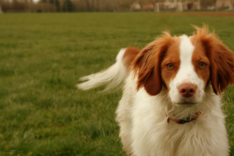 fluffy brittany spaniel, mostly white but with apricot colored ears and sections around her eyes, as well as around her tail, she has light golden eyes and is looking serious as she gazes straight into the camera
