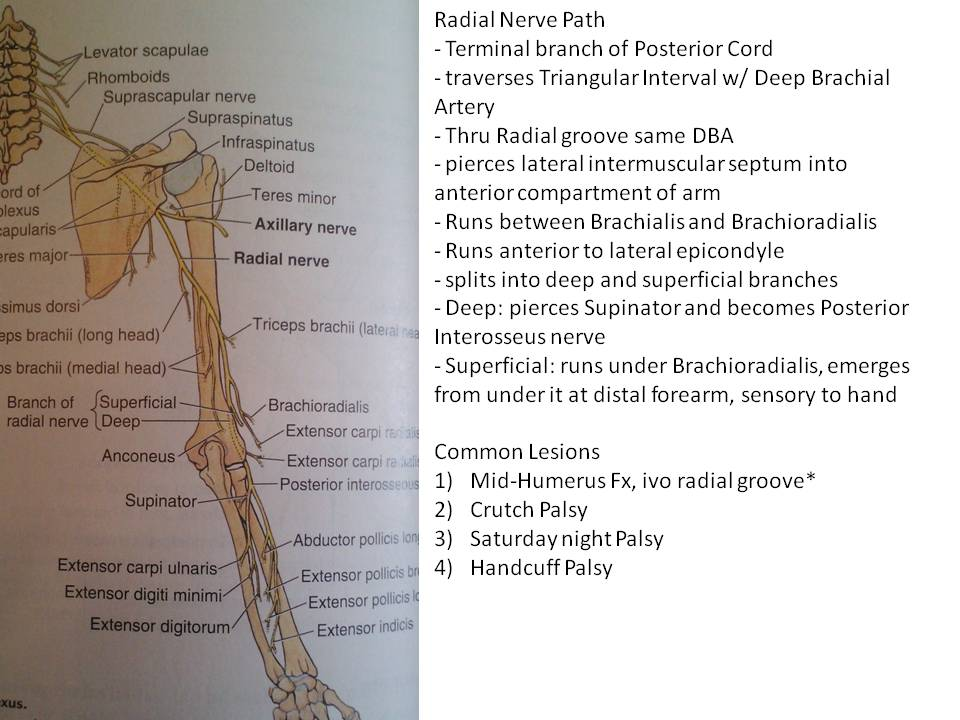 Ulnar, Median, Radial nerve pathways | UIC PT Anatomy Reviews 2015
