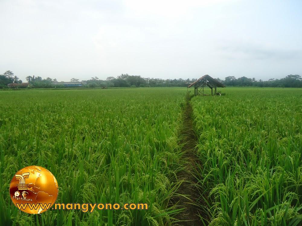 FOTO : Tanaman padi di Bakan Bandung, Pagaden Barat sudah berisi