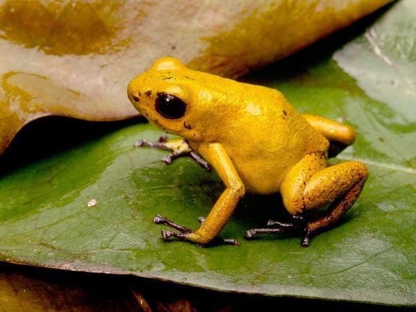 Poison Dart Frog Amazi...