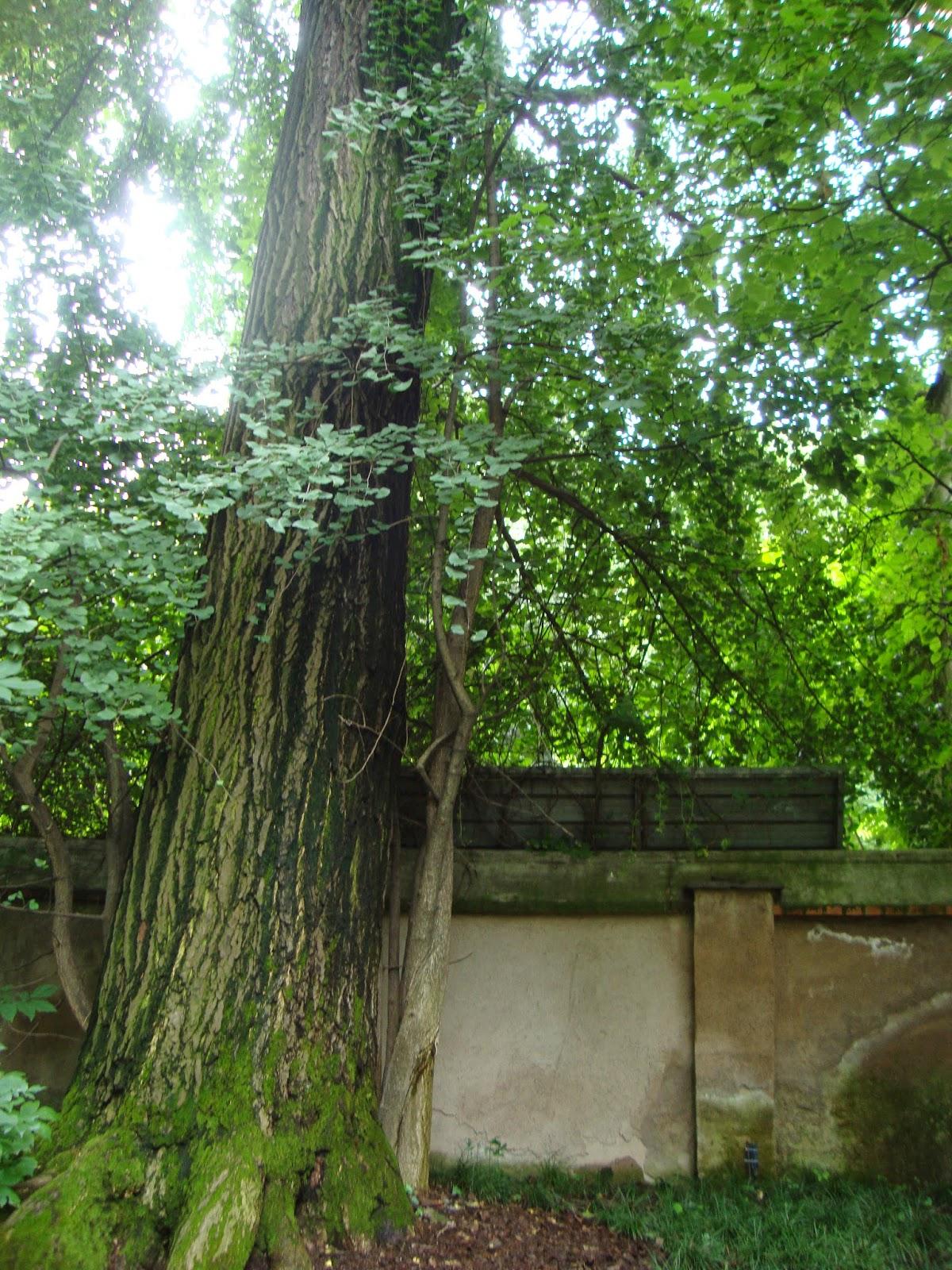 Un piccolo giardino in citt riconoscere gli alberi dalle - Alberi giardino piccolo ...