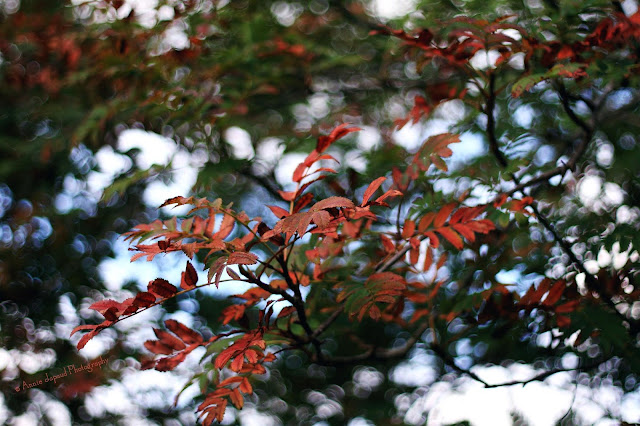 red leaves rowan tree