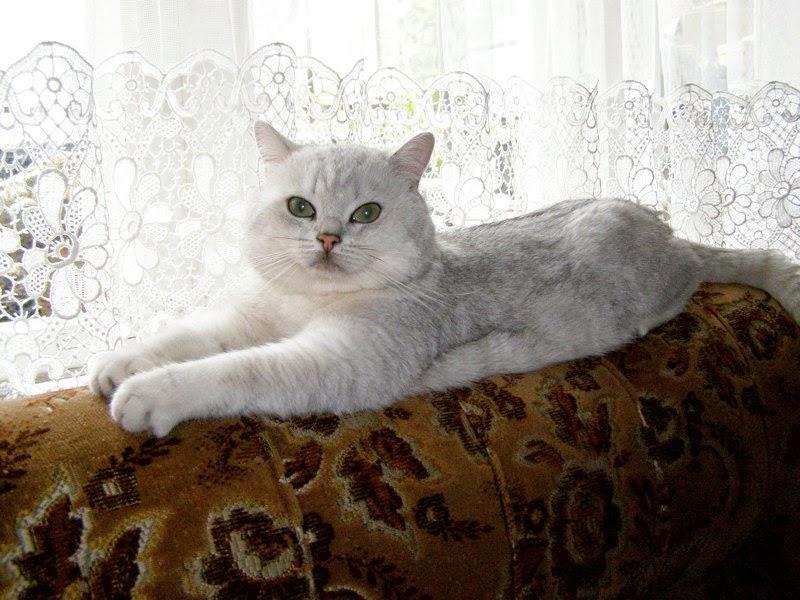 Kot Twoim Przyjacielem Koty Srebrzyste
