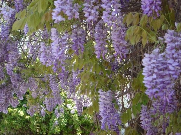 un ejemplo es la glicinia wisteria que produce con forma de racimos colgantes en lila blanco o rosa a final de primavera