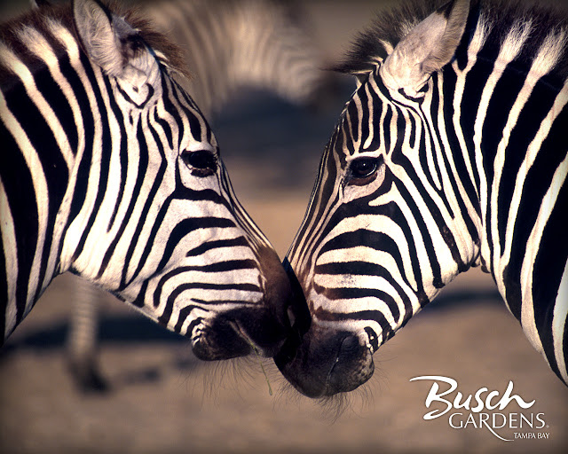 hd desktop wallpapers zebra wallpaper zebra wallpapers