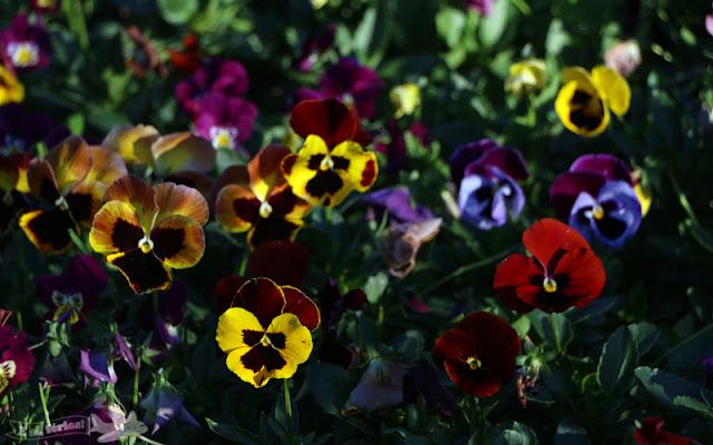 flores, amor-perfeito