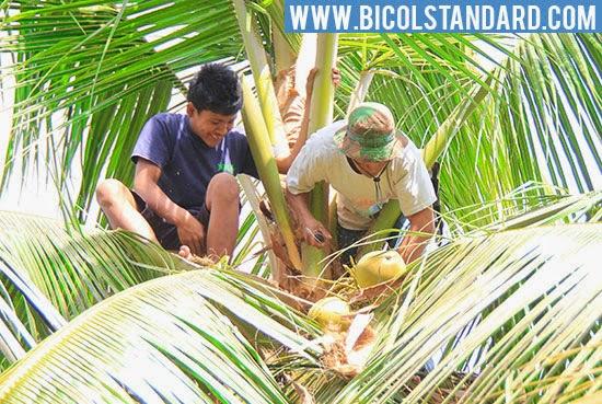 Harvesting coconuts in Camarines Sur