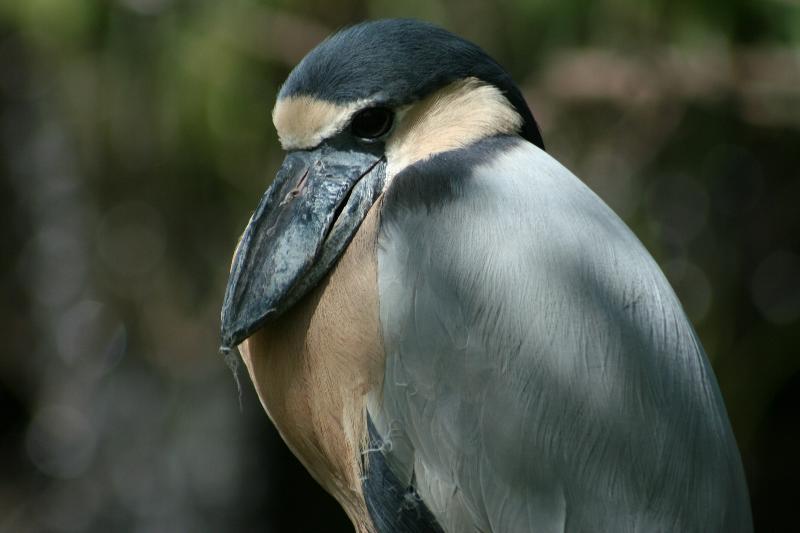 Broad Billed Heron Boat Billed Heron