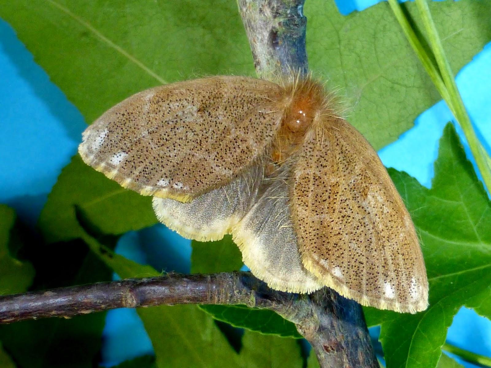 Euproctis inornata female