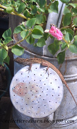 Eclectic Red Barn: Gecko sunning on the end of a watering can