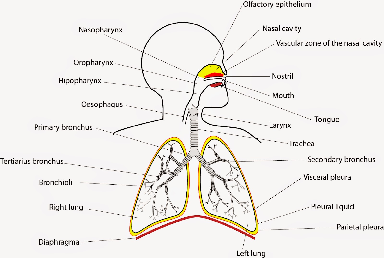 Respiration: Pulmonary Ventilation and Exchange of Gases el moderno  #C6B305
