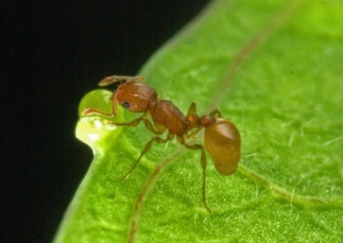 little fire ant worker foraging for food on a leaf's surface