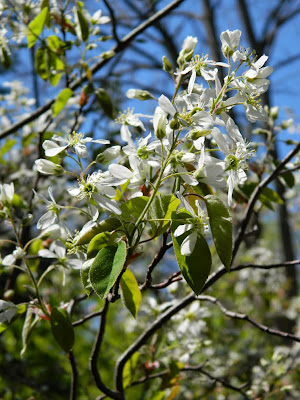 Serviceberry Amelanchier arborea flowers by garden muses-not another Toronto gardening blog