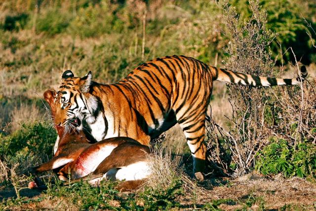 Tigers The Garden Of Eaden