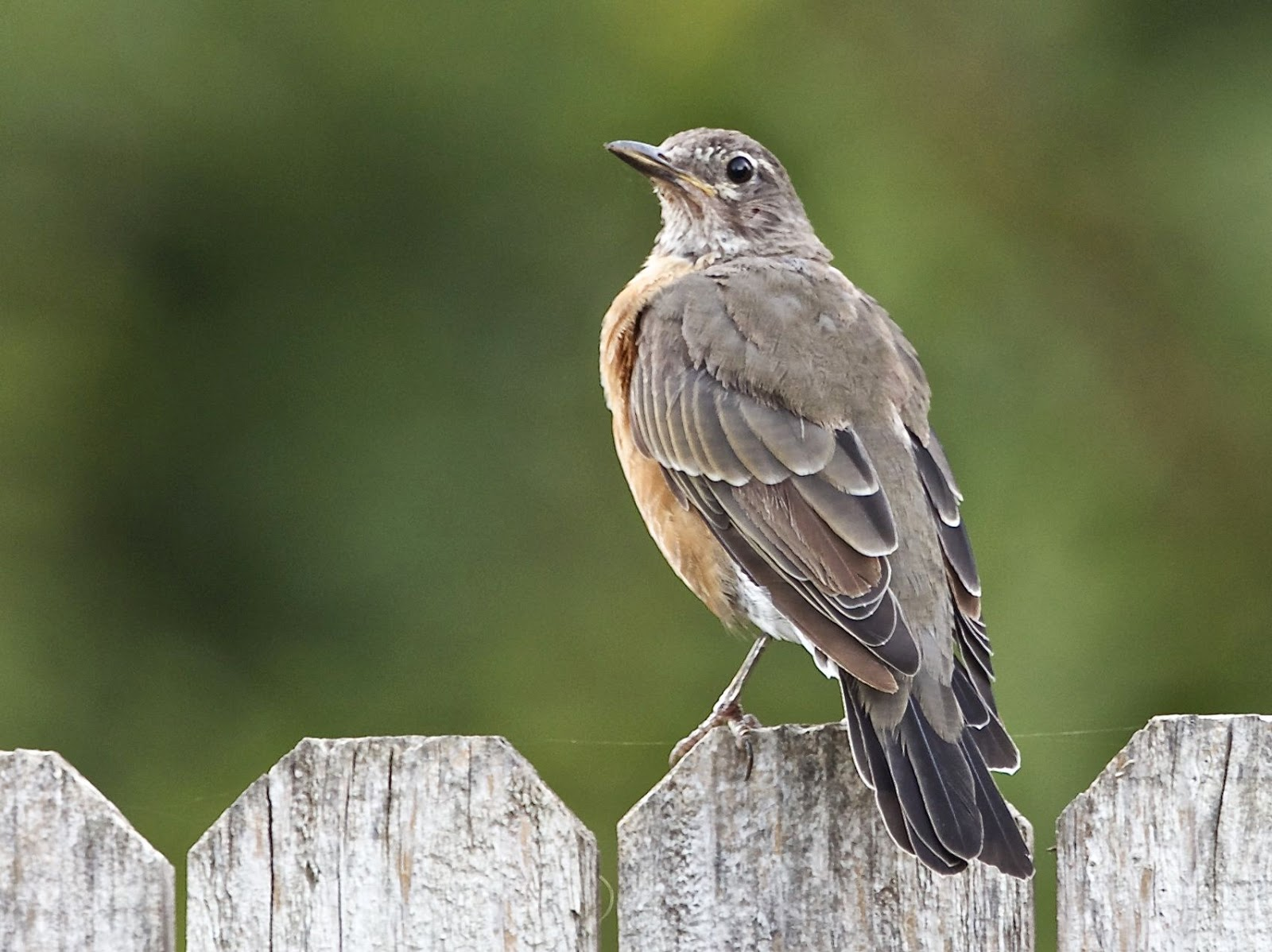An american robin in backyard at davis this species is very common