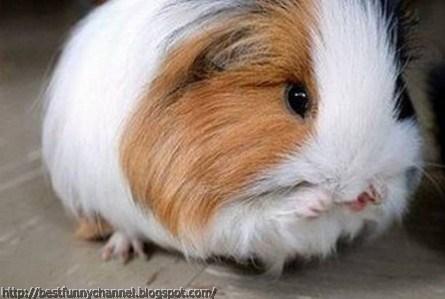 Fluffy Guinea pig .