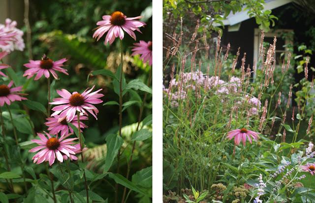 """Blomstrende bede i sensommeren med græsser, phlox Europa og solhat """"Magnus"""""""