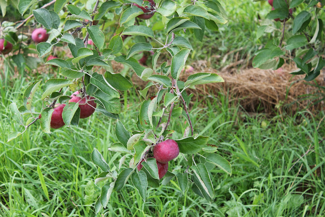 Apples at Drew Farm
