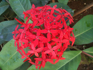 red ixora flower blooms