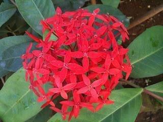 red ixora flower blooms