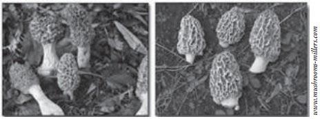 Jamur Ascomycota (Jamur Untuk Membuat Tempe, Tape, Peuyeum ...