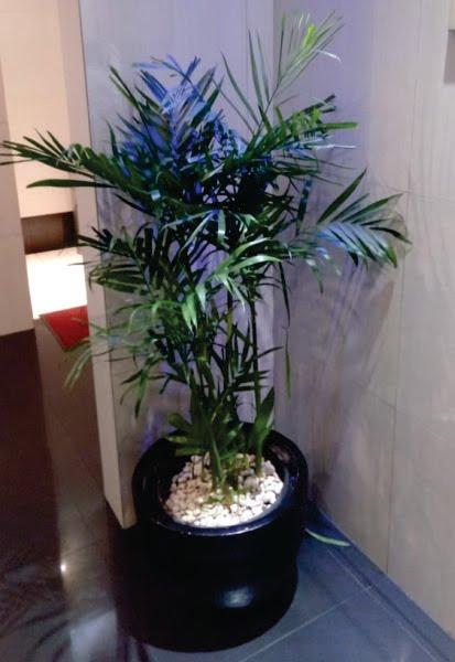 Palm Chamedoria