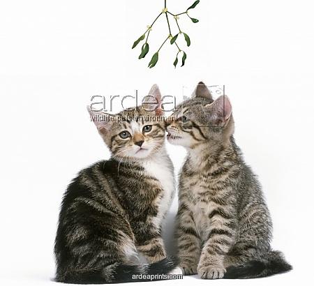 Silver-Tabby-Kittens