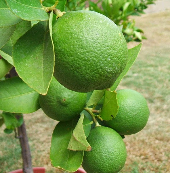 Health Benefits Fruit Lime for anticancer (Citrus auranfolia)