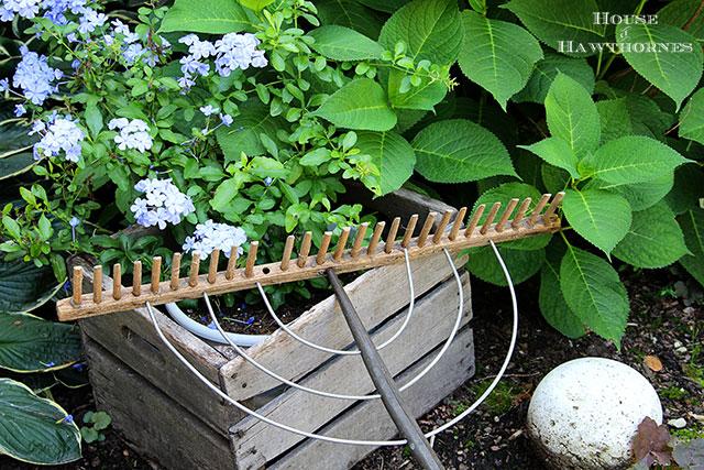 Vintage wooden hay rake next to my gorgeous Plumbago flowers