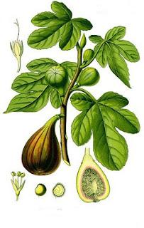 Figo (Ficus carica L)