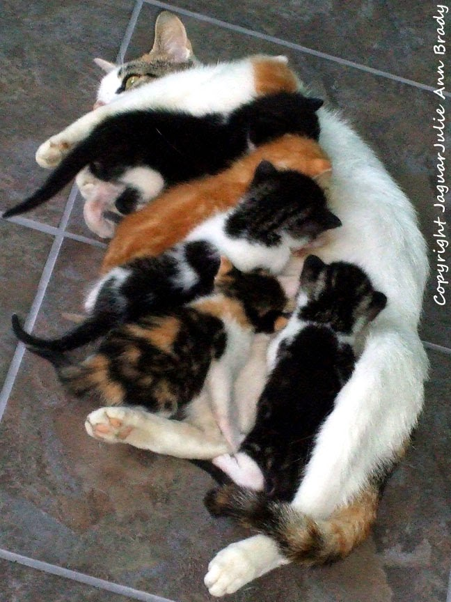 White Mommy Cat in Mandarin Florida Nursing Six Kittens